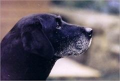 Labrador Retriever vom Keien Fenn